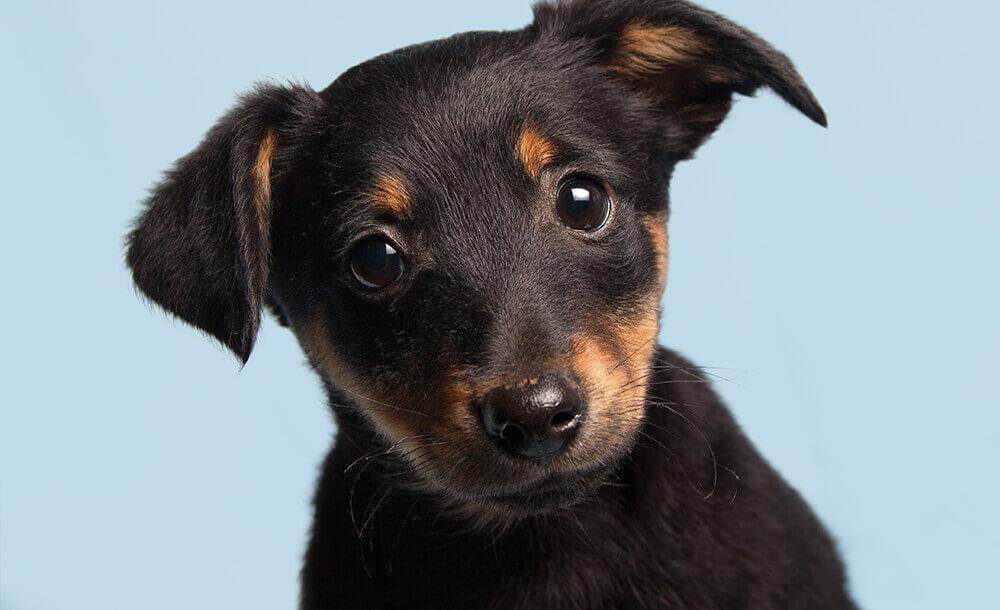 つぶらな瞳の子犬。かわいいものを見る事、ペットと触れる事でエンドルフィンは分泌します。