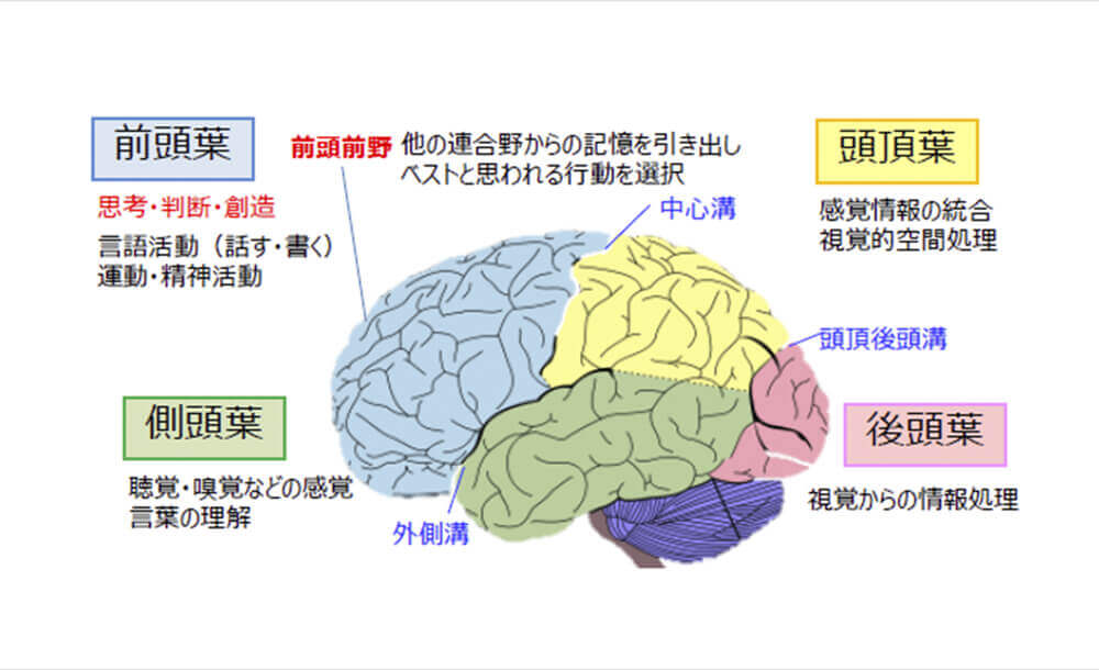 脳の部位。前頭葉(思考判断)、側頭葉(聴覚、嗅覚、言語の理解)、頭頂葉(感覚情報の統合、視覚的空間の処理など)、後頭葉(視覚からの情報処理)がある。