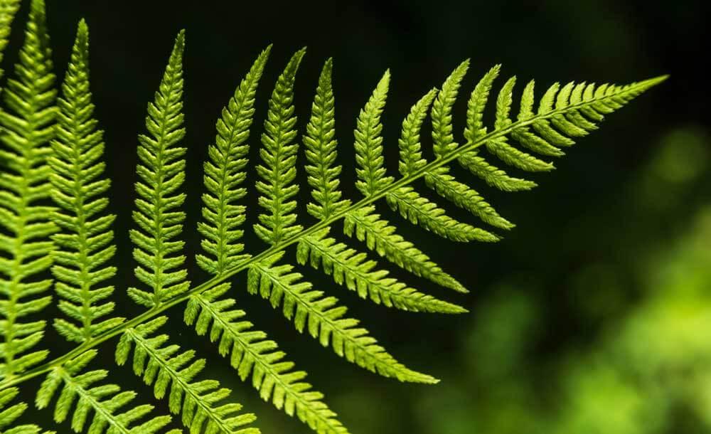 シダの葉。フラクタル構造は脳でスムーズに処理され、癒しの効果があります。